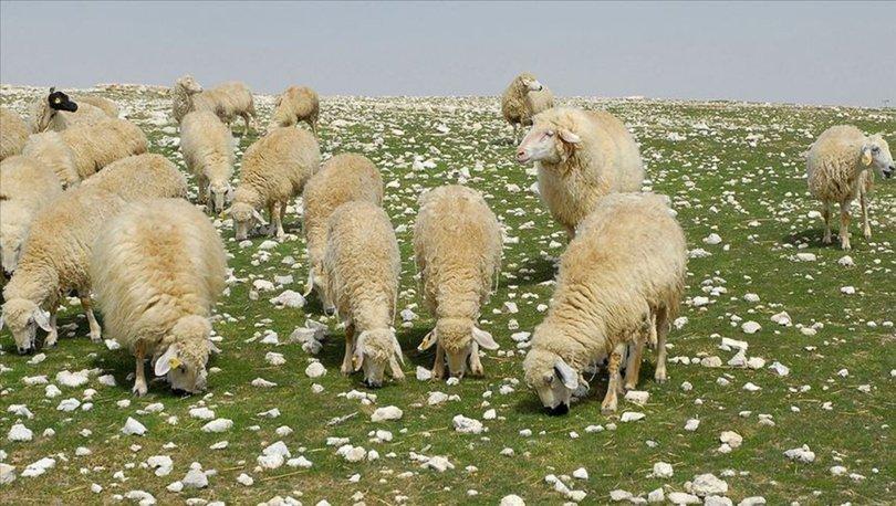 Bakan Pakdemirli, anaç koyun ve keçi desteği ödemelerine bu haftadan itibaren başlayacaklarını açıkladı