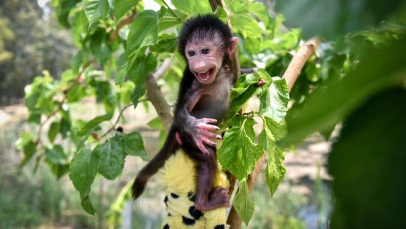 Küvözde büyütülen yavru maymun 'Nisan' doğal ortamına alıştırılıyor