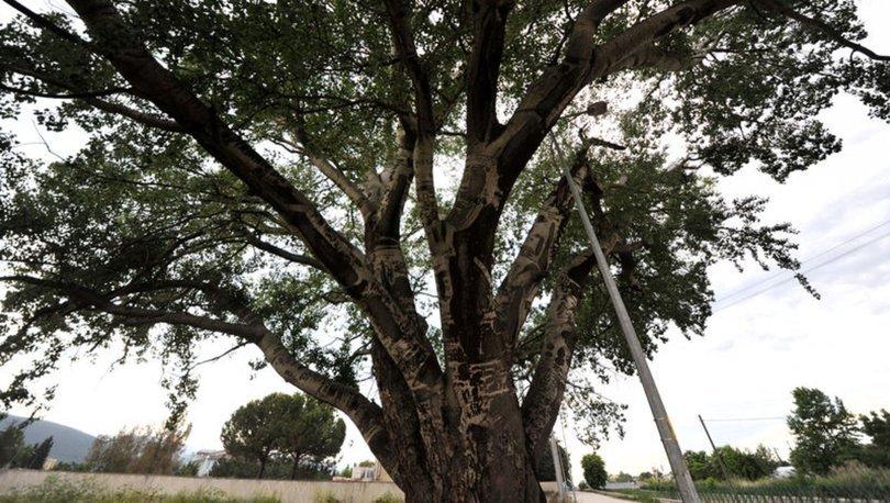 İznik'in 'Künye Ağaç'ı ilgi görüyor