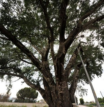 Bursa´da, İznik Jandarma Komutanlığı´nda 1960 ile 1990 yılları arasında askerlik yapanların künyelerini kazıdığı, isim ve rakamların desen oluşturduğu ağaç, ilgi görüyor. Bölge halkı, ilçenin sembollerinden biri haline gelen ve `Künye Ağaç´ adını verdikleri anıt ağacın koruma altına alınmasını istiyor