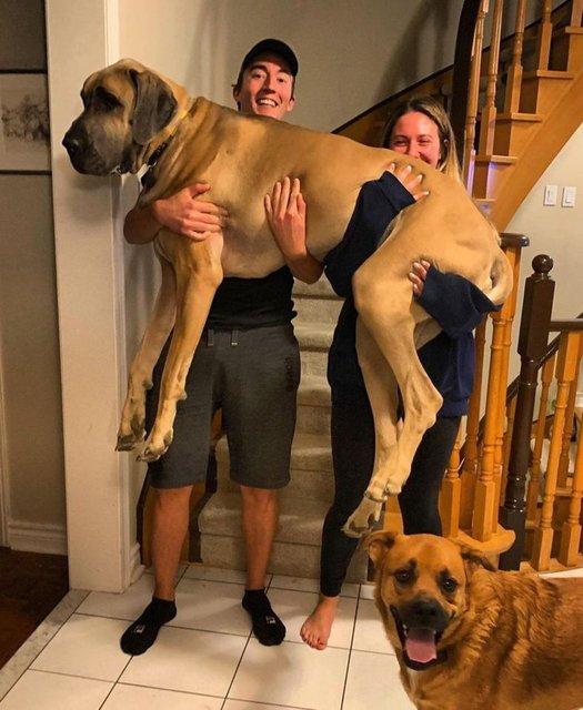 Kendini ufak zannedip sahiplerine atlayan dev köpekler güldürdü