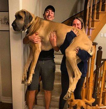 Kendi boyutlarından haberdar olmayan dev köpeklerin güldüren halleri...