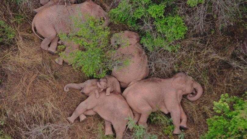 Çin'in göçebe fillerinin 15 aylık uzun yolculuğu ardından molası
