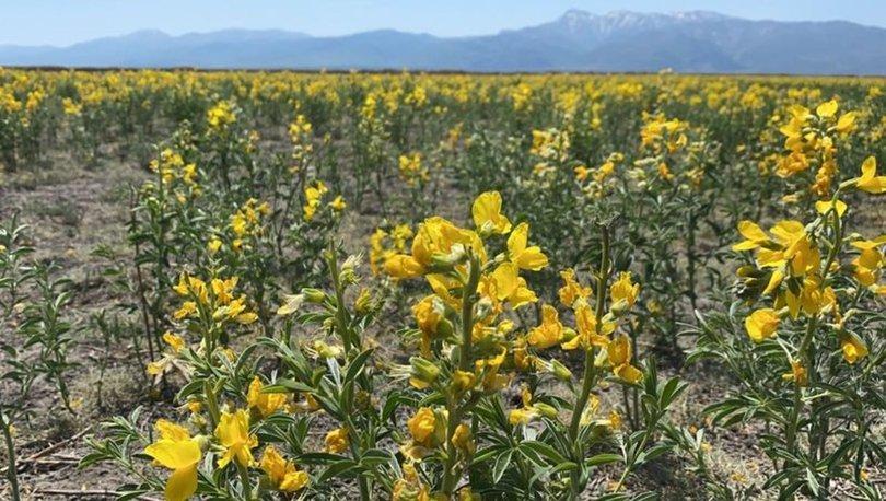 Eber sarısının yetiştiği yeni bir alan keşfedildi