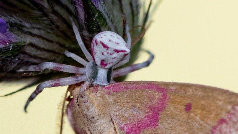 Manisa'da 'insan yüzlü örümcek' görüldü