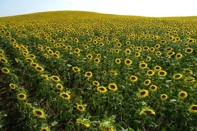 Çukurova'da sarıya boyanan ayçiçeği tarlaları doğal fotoğraf stüdyosu haline geldi