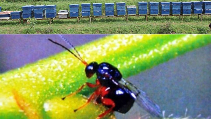 AĞAÇLARI KURUTUYOR! Son dakika: Bir kentte daha gal arısı görüldü! - VİDEO