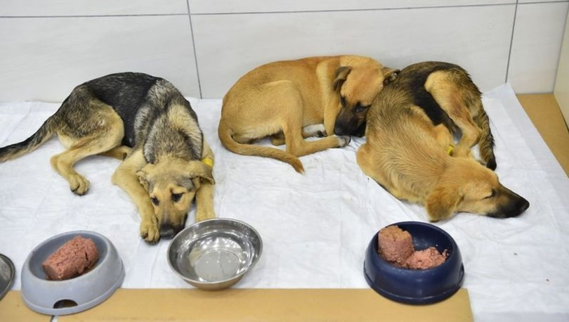 KURTARILDILAR! Son dakika: Zehirlenen yavru köpeklerden iyi haber - Haberler