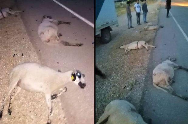Koyunları katletti, arkasına bile bakmadı