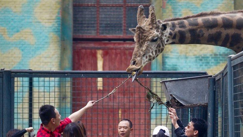 Zürafalardan daha uzun, nesli tükenmiş bir gergedan türü Çin'de bulundu