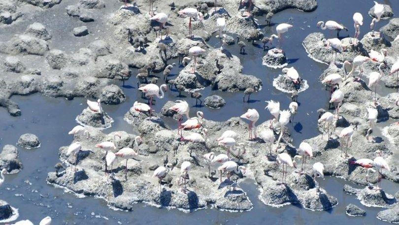 Tuz Gölü'nün misafir flamingoları, ilk kez yavruları ve yumurtalarıyla görüntülendi