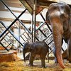 İzmir'de yavru fil sevinci
