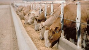 Kurbanlık koç, koyun ve dana fiyatları! Küçükbaş ve büyükbaş hayvan kurbanlık fiyatları 2021 listesi
