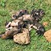 Çok sayıda yavru köpek ölü halde bulundu
