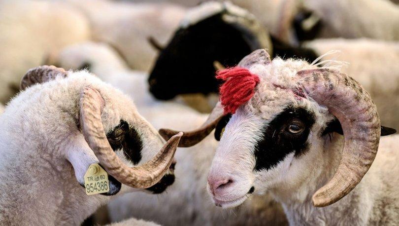 Kurbanlık koç, koyun ve dana fiyatları 2021! Küçükbaş ve büyükbaş hayvan kurbanlık fiyatları ne kadar? İşte tü