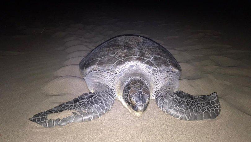 Yeşil deniz kaplumbağası, 9 yıl sonra Patara'da