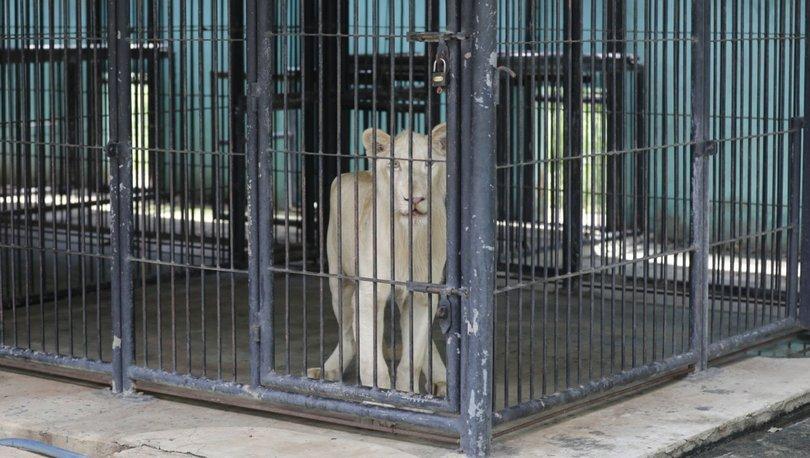 Kamboçya'da devletin el koyduğu TikTok fenomeni aslan sahibine iade edildi