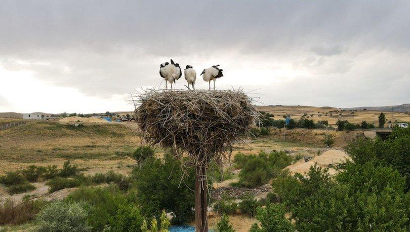 Kuşçu köyünün leylek sakinleri artıyor
