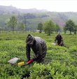 ÇAYKUR Genel Müdürlüğü, bu yıla ilişkin yaş çay budama bedellerinin üreticilerin banka hesaplarına aktarıldığını bildirdi