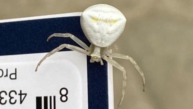 Erzurum'da görüntülenen insan yüzlü örümcek şaşırttı