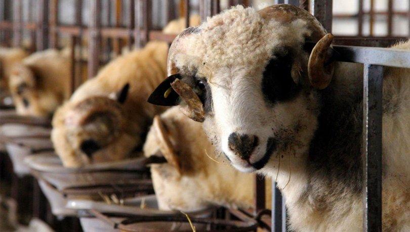 Kurbanlık fiyatları 2021: Küçükbaş büyükbaş kurbanlık fiyatları ne kadar? Kurbanlık koç, koyun, dana fiyatları