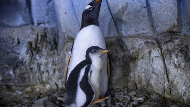Türkiye'nin ikinci bebek kutup pengueni ilgi odağı