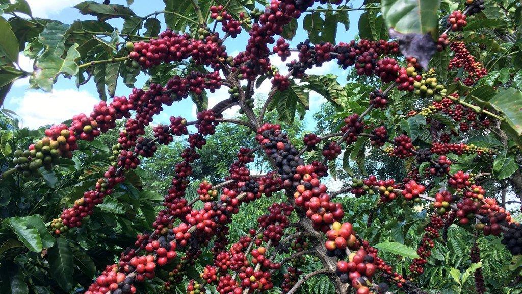 Kahve fiyatları 7 yılın zirvesinde
