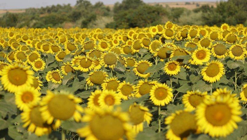 Samsun'da ayçiçeği tarlaları doğal fotoğraf stüdyosuna dönüştü