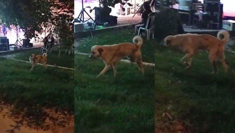 Düğün müziğine kapılan köpek böyle dans etti