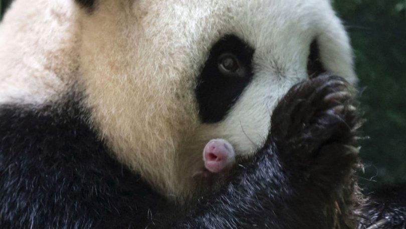 Fransa'da ikinci kez dev panda doğumu gerçekleşti