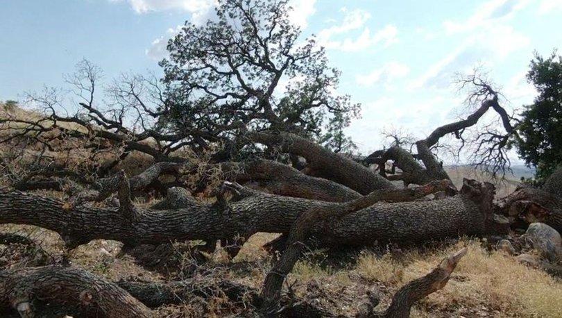 3 asırlık ağaca kimse dokunamıyor! İşte sebebi