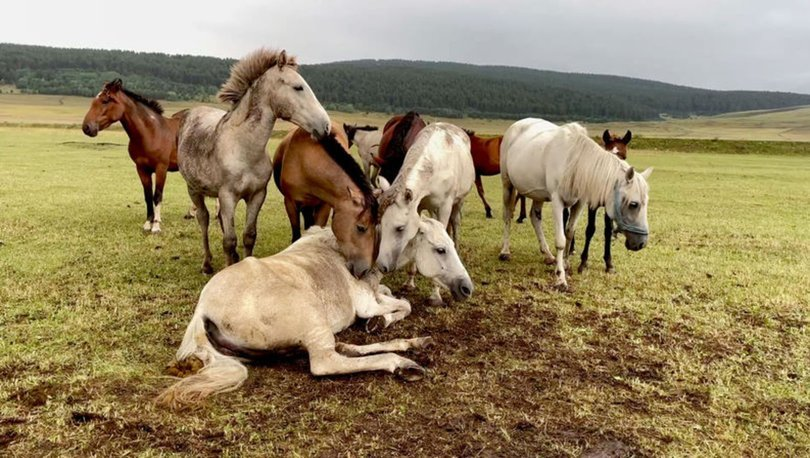 Ayağı kırılan yılkı atını diğer atlar terk etmedi