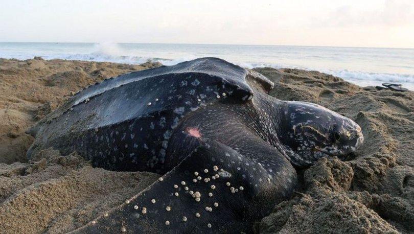 ŞAŞKINLIK YARATTI! Son dakika haberleri - Deri sırtlı deniz kaplumbağası Muğla'da görüntülendi