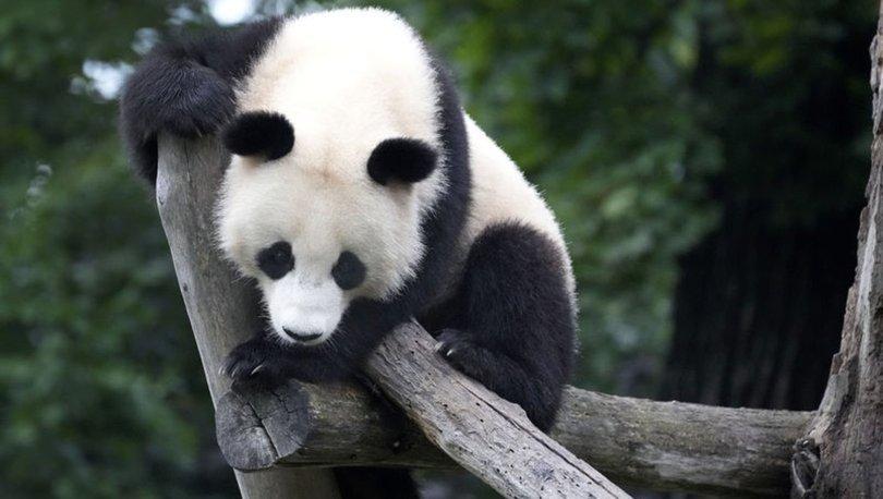 Madrid hayvanat bahçesinde dev panda ikiz yavru dünyaya getirdi