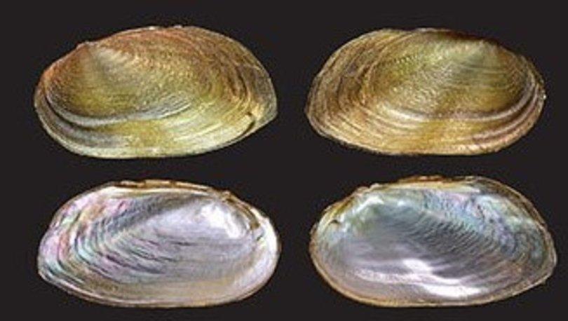 Malezya'da iki yeni tür ve bir yeni cins 'tatlı su midyesi' bulundu