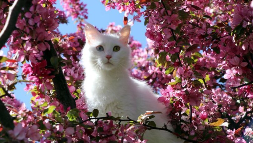 Helsinki Üniversitesi'nin 'Van kedisi' araştırmasına tepki