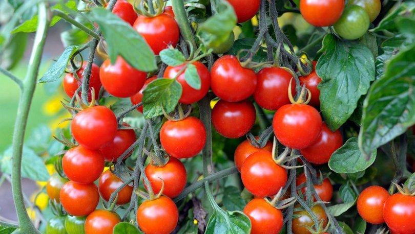 İhracat şampiyonu kiraz ve domates