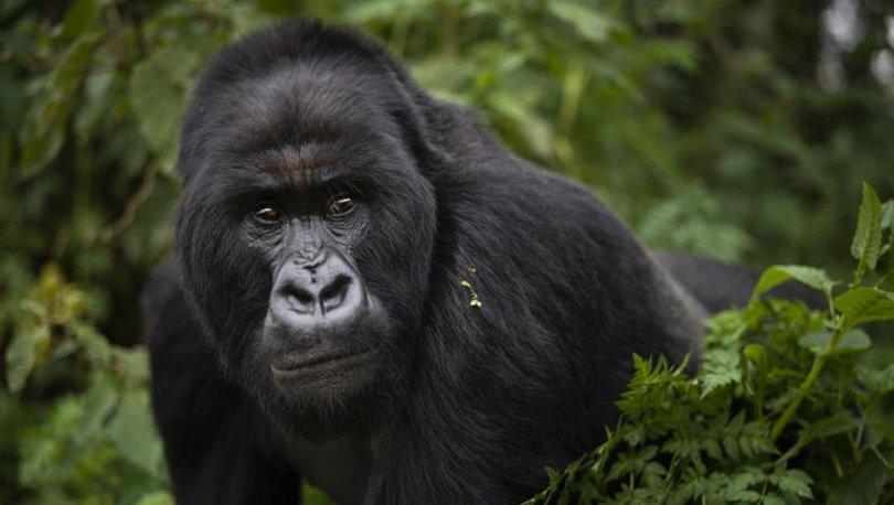 ABD'deki bir hayvanat bahçesindeki goriller Covid-19'a yakalandı