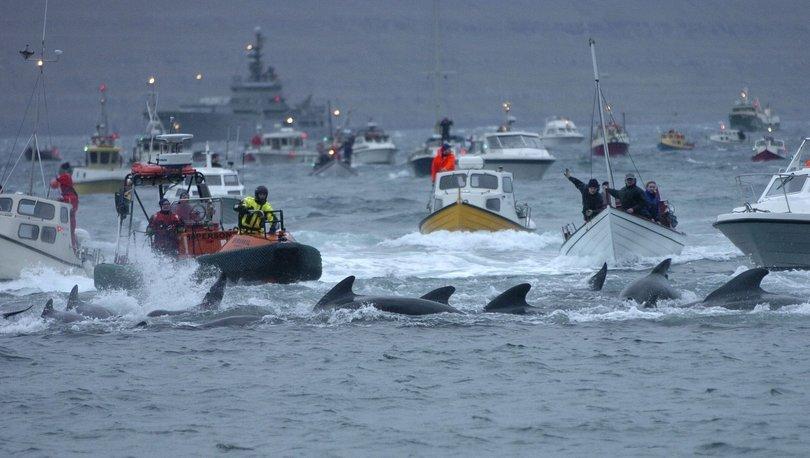 Grindadrap: Faroe Adaları'nda bu yıl 1500'e yakın balina ve yunus öldürüldü