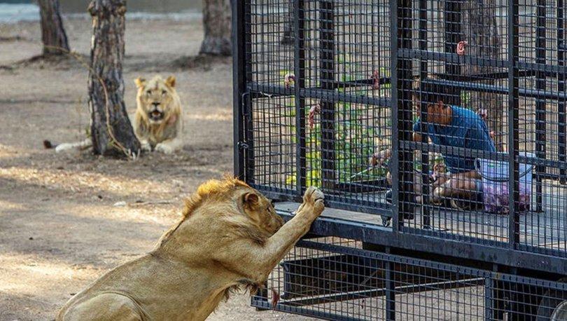 Antalya'da telli kamyonetle aslan safarisine tepki! - Haberler