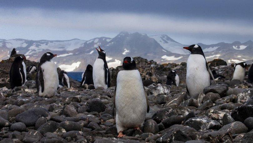SON DAKİKA: Güney Afrika'da nesli tükenme tehlikesindeki 63 penguen arı saldırısında öldü!
