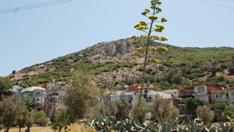 Agave ağacı hazin sona yaklaşıyor
