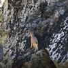 3 ayaklı yaban keçisinin kayalara tırmanma azmi