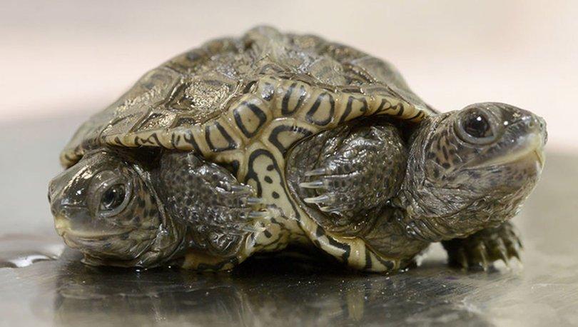 2 başlı 6 ayaklı kaplumbağa yaşamını sürdürüyor