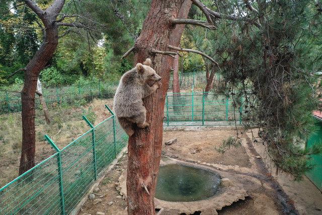 Ovakorusu'nda ayılar günde 400 kilogram yiyecekle kış uykusuna hazırlanıyor