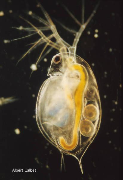 the phototactic behavior of daphnia magna