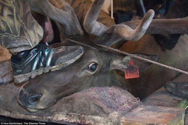 Sibirya'da erkek geyiklerin boynuzları insanların cinsel performansını arttırmak için kesiliyor.
