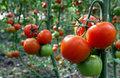 12. DOMATES: Domates ve domates suyu cilt sağlığınız için önemlidir ve çok güçlü bir antioksidan olan likopenin birincil kaynağıdır. Bu sayede kanser, kalp hastalıklarına karşı koruyuculuğu en yüksek besindir.