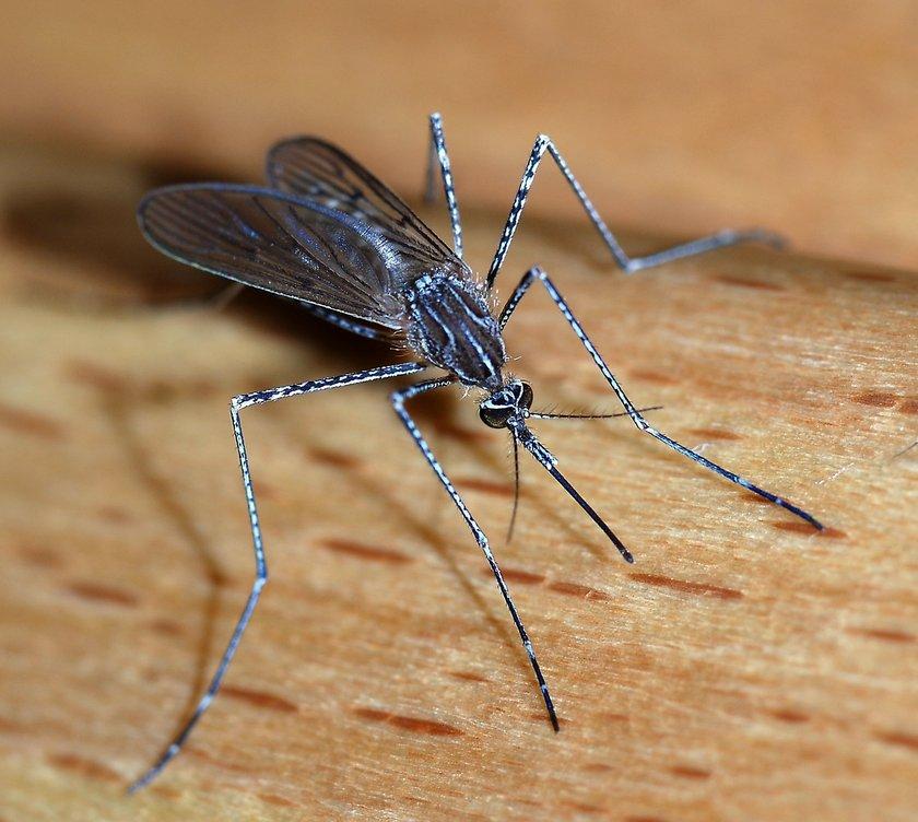 California Teknoloji Enstitüsü tarafından yapılan araştırmalarda aç dişi sivrisineklerin hareketleri gözlemlendi. \n