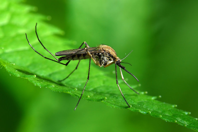 Aç olan sivrisinekleri gözlemleyen araştırmacılar sivrisineklerin kana ihtiyacı olduğundan her ne durumda olursa olsun insanı soktuğuydu. \n